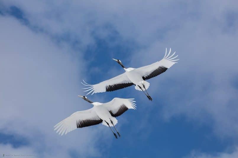 Two Cranes in Flight