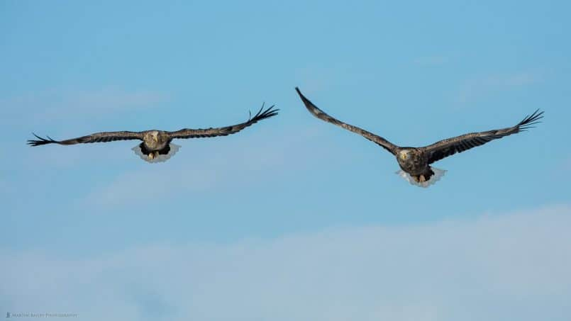 Two White-Tailed Eagles in Flight
