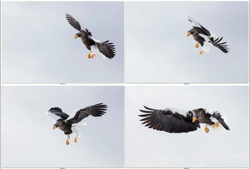 Four Stellers Sea Eagles