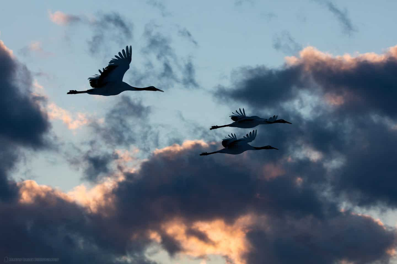 Three Cranes at Dusk