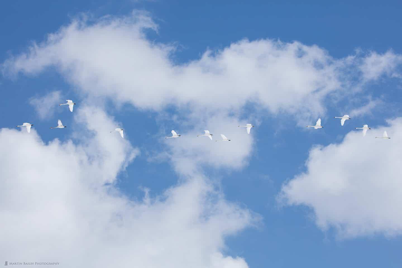 Twelve Swans in Flight