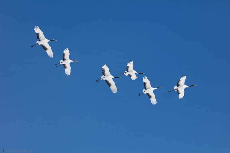Six Red-Crowned Cranes in Flight