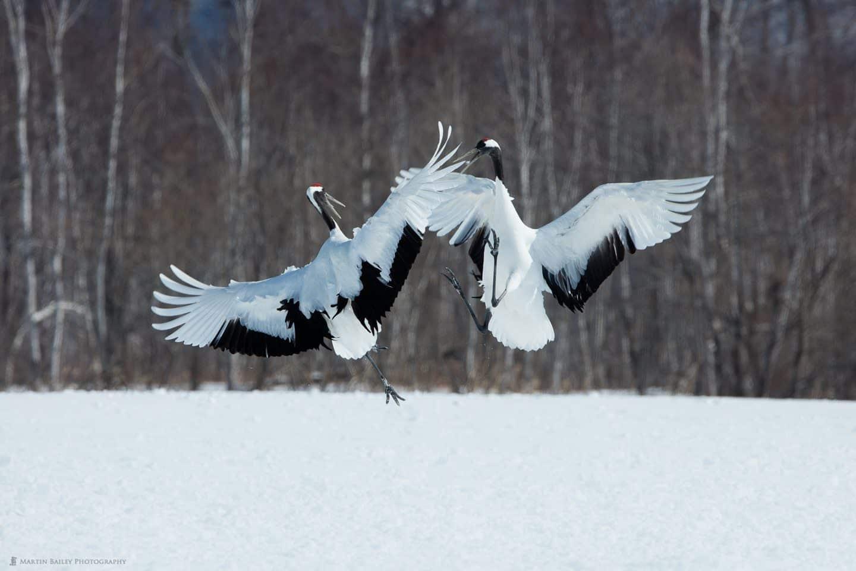 Kicking Cranes