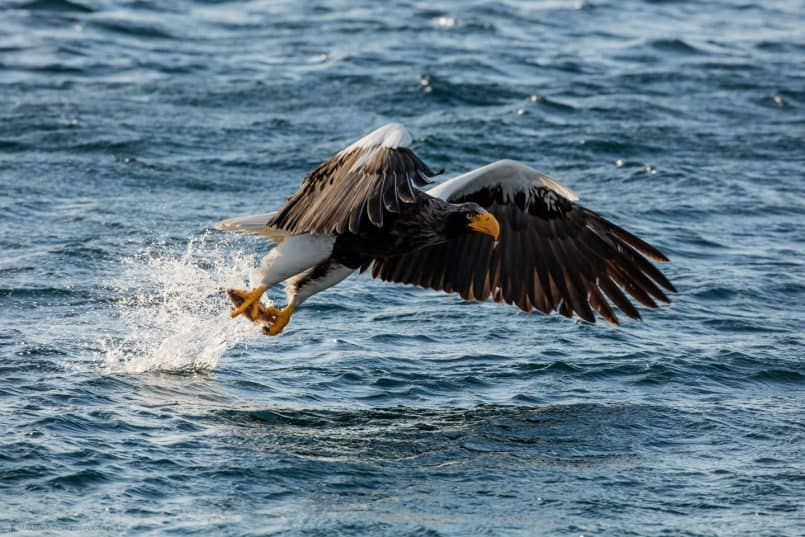 Steller's Sea Eagle Catching Fish