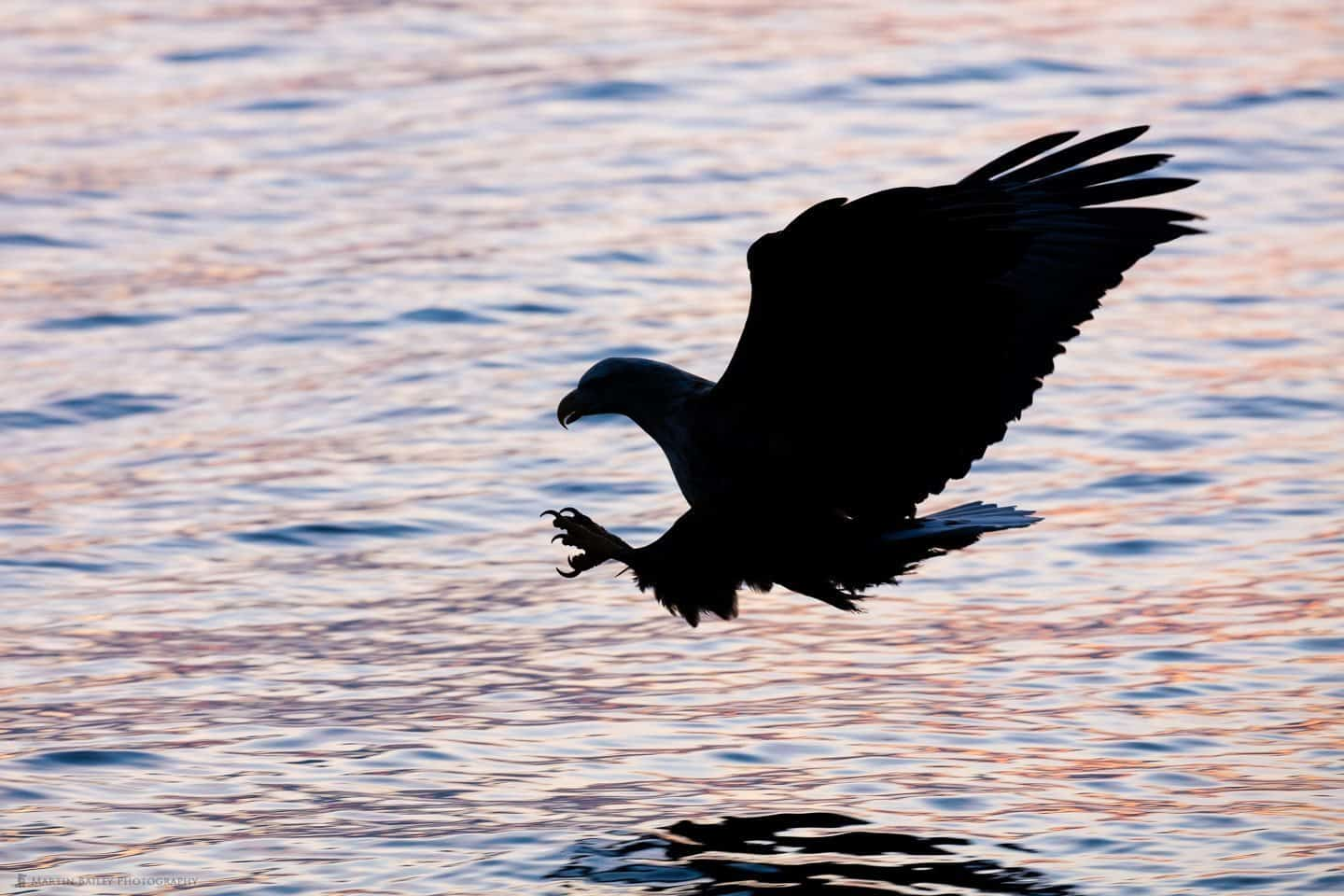 White-Tailed Eagle Swoops in Silhouette