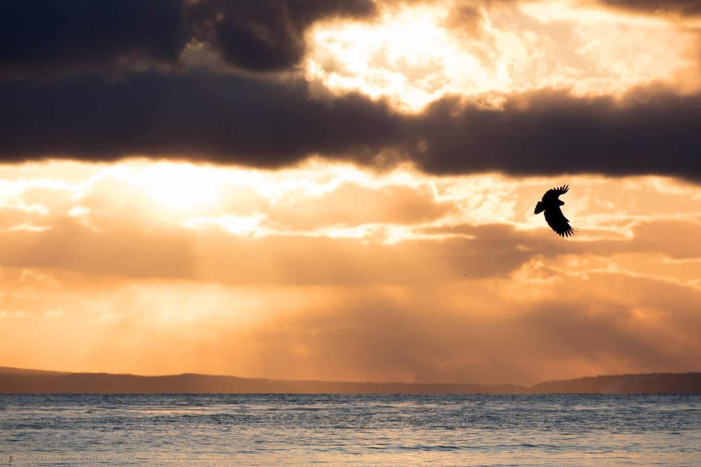 White-Tailed Eagle with Sun's Rays