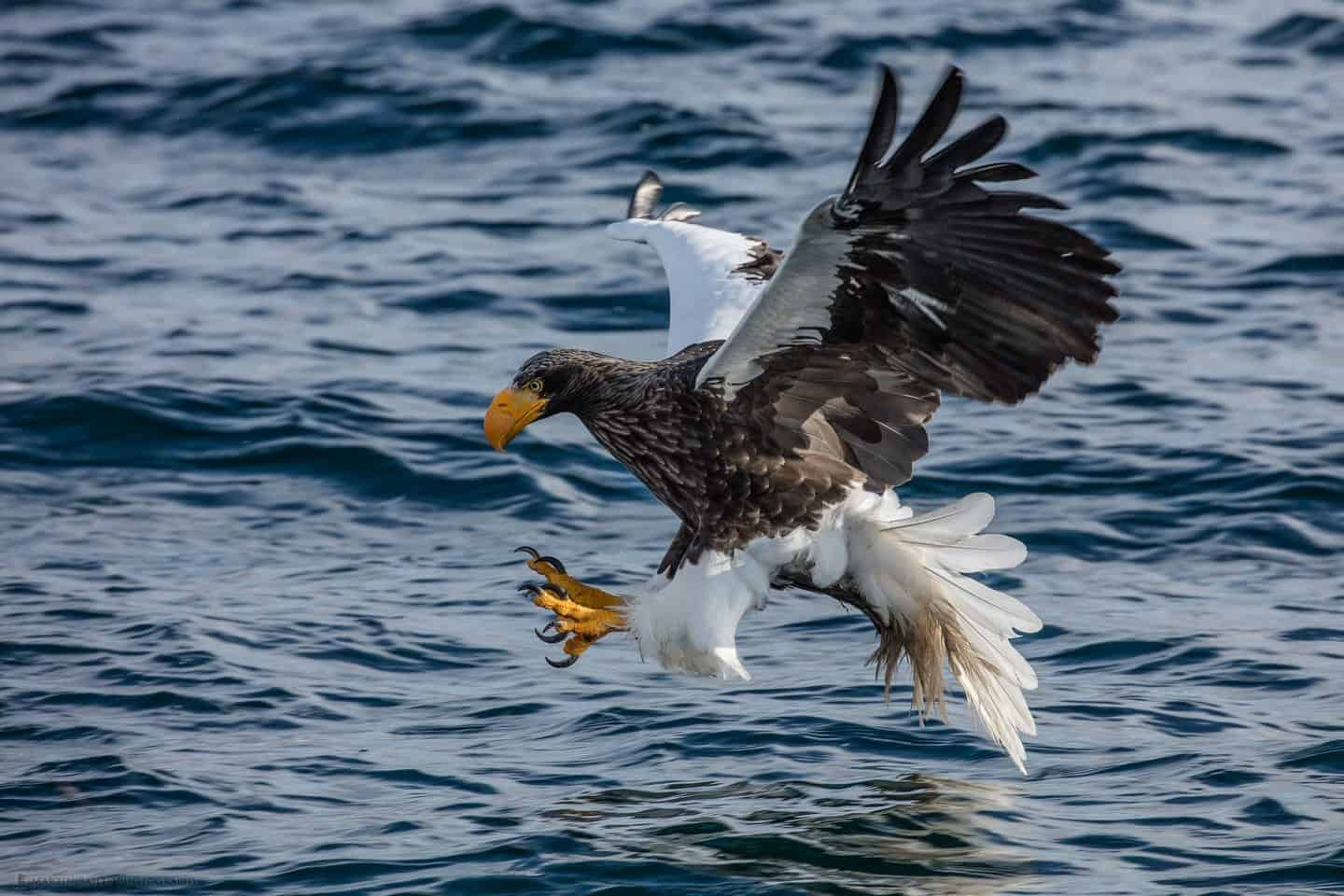 Steller's Sea Eagle Swooping to Catch Fish Talons Forward