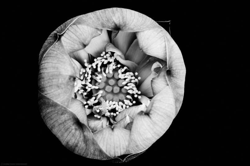 Lotus Flower Interior - Capture One Pro 9