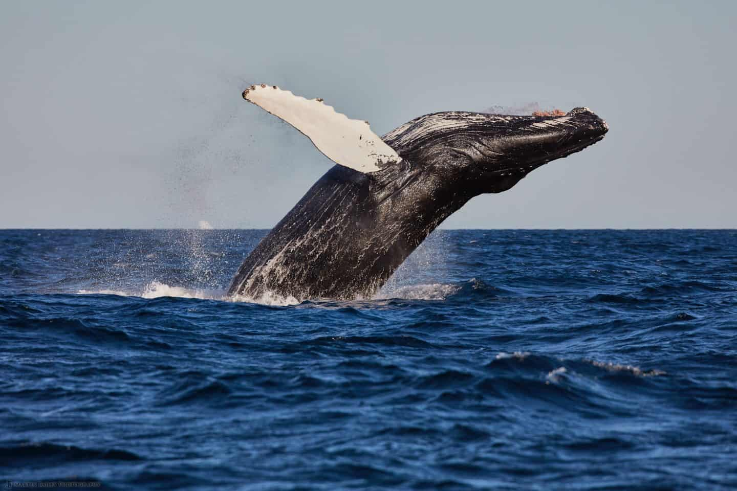 Breaching Humpback Whale - Side View