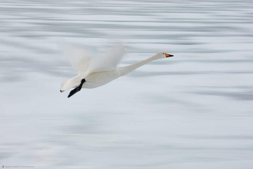 Whooper Swan Over Frozen Lake