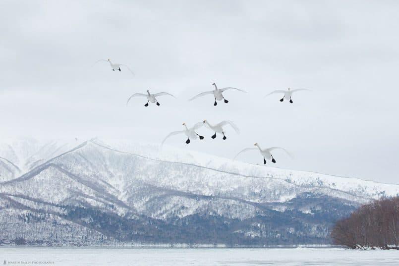 Nine Whooper Swans