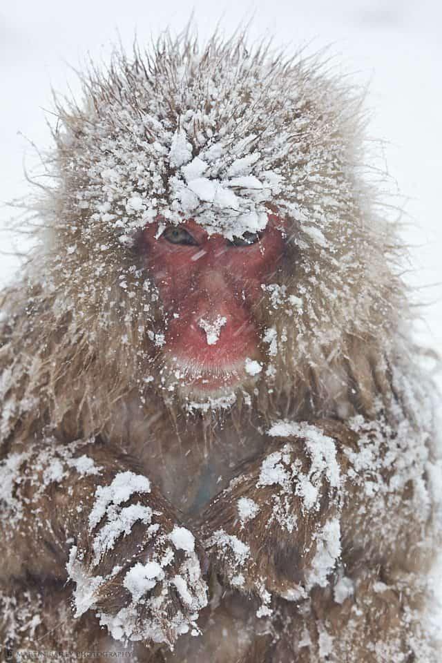 Tough Life for a Snow Monkey