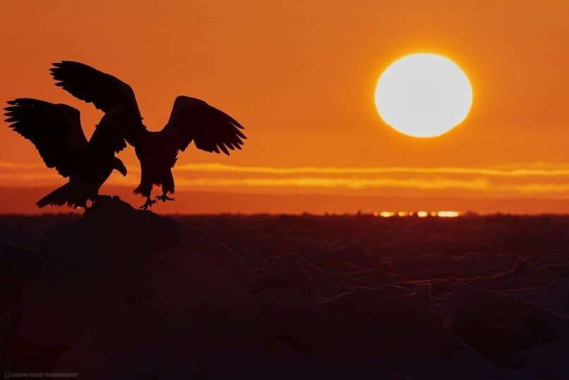 Steller's Sea Eagles at Dawn