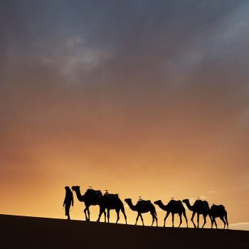 Camels with Handler at Sunset