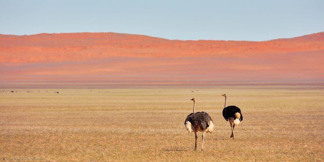 Ostriches on Plain
