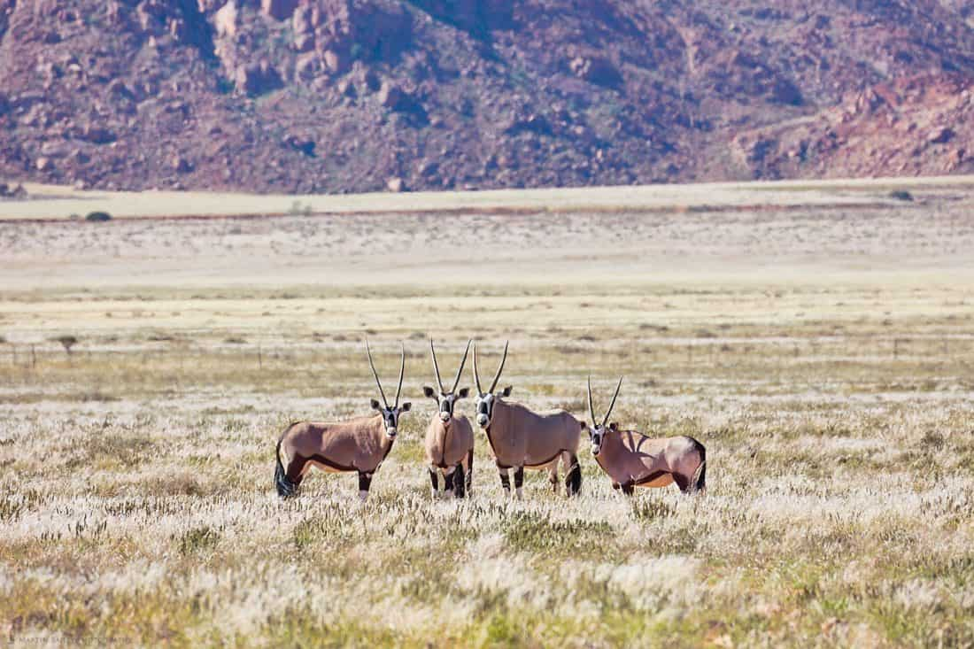 Oryx Male with Harem