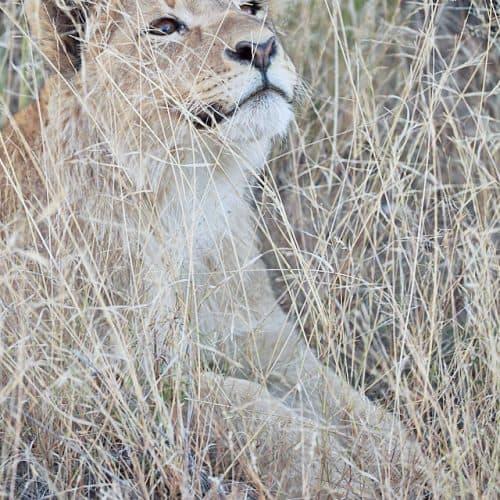 Contemplative Lion Cub