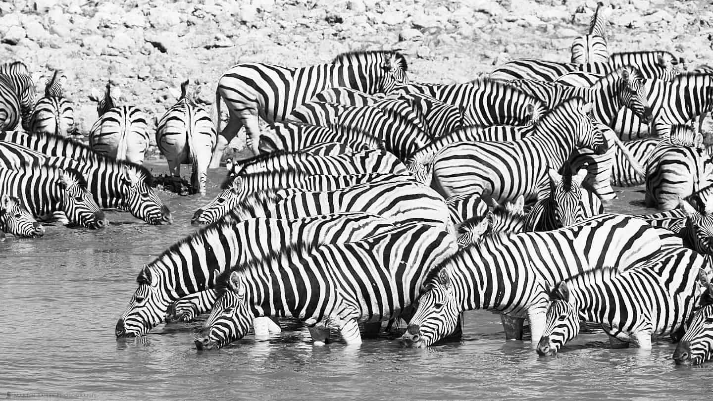 Burchell's Zebra at Waterhole