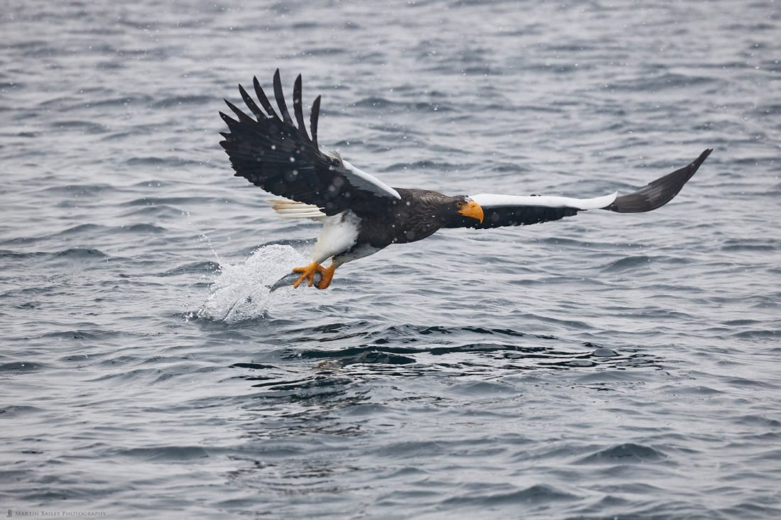Steller's Sea Eagle Pulling Fish from Sea