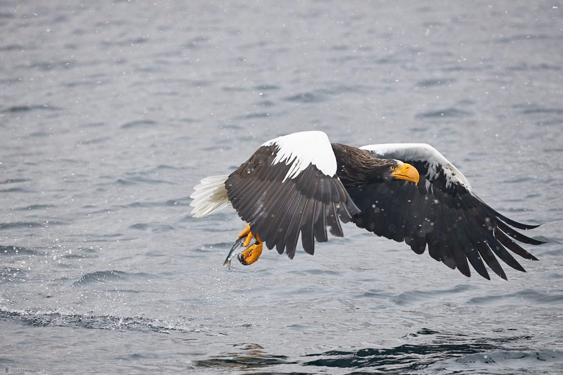 Steller's Sea Eagle Snatches Fish from Sea