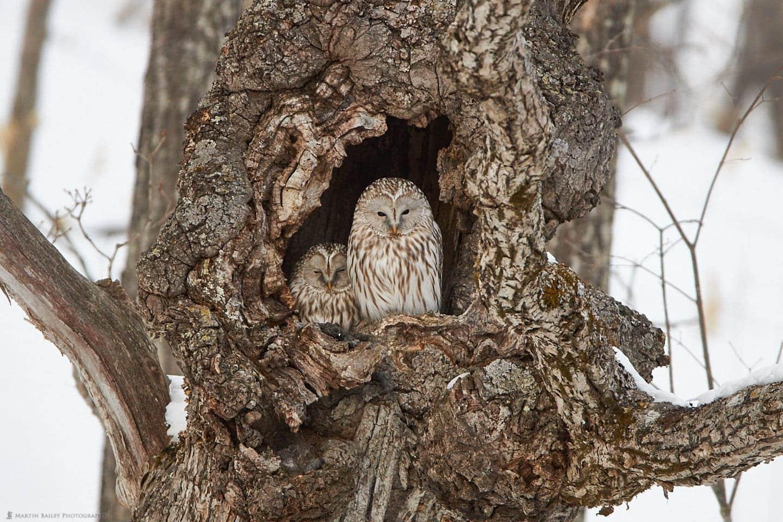Ural Owl Duo