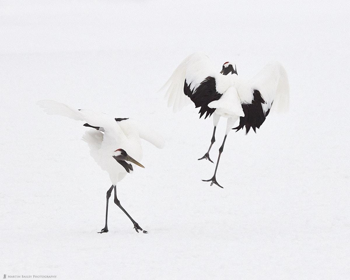 Dancing Cranes 2019 #1