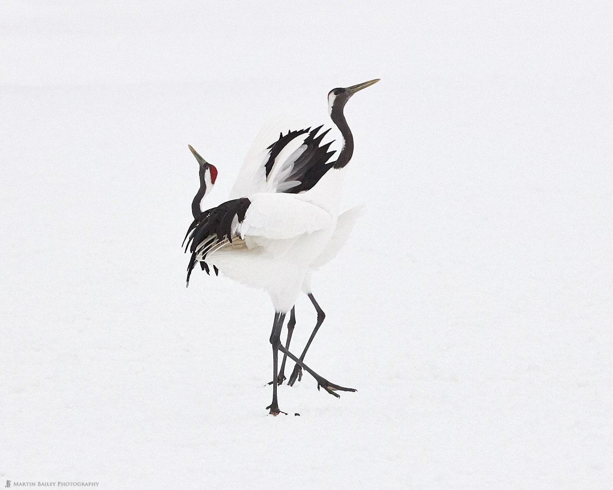 Dancing Cranes 2019 #2