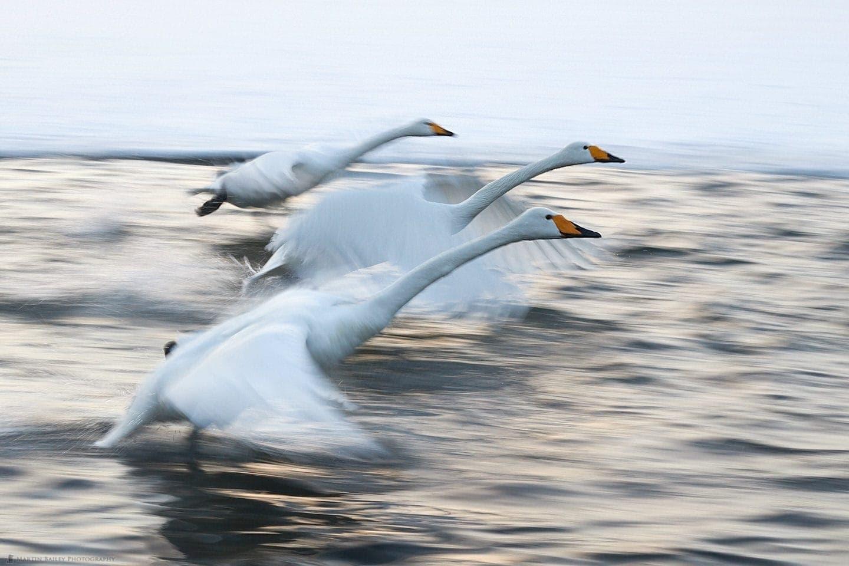Three Swan Pan