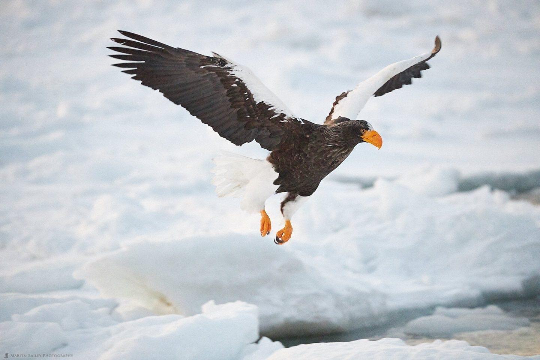 Dawn Sea Eagle