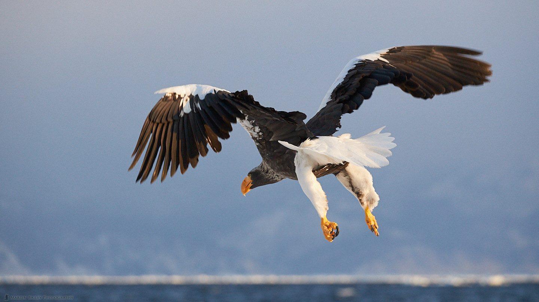 Steller's Sea Eagle Butt Shot