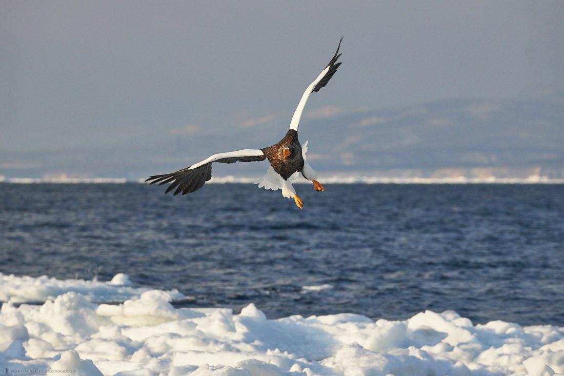 Steller's Sea Eagle and Sea Ice