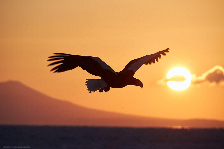 Steller's Sea Eagle Silhouette