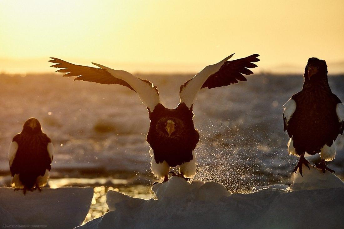 Steller's Sea Eagle's Grimace