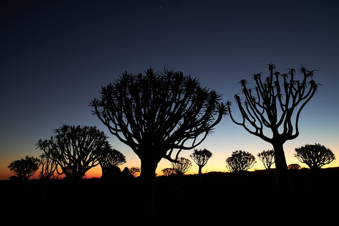 Quiver Tree Forest Sunset