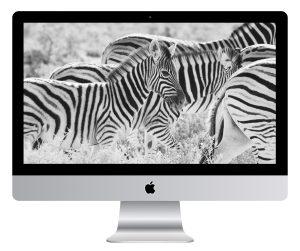 Young Zebra Wallpaper Mockup
