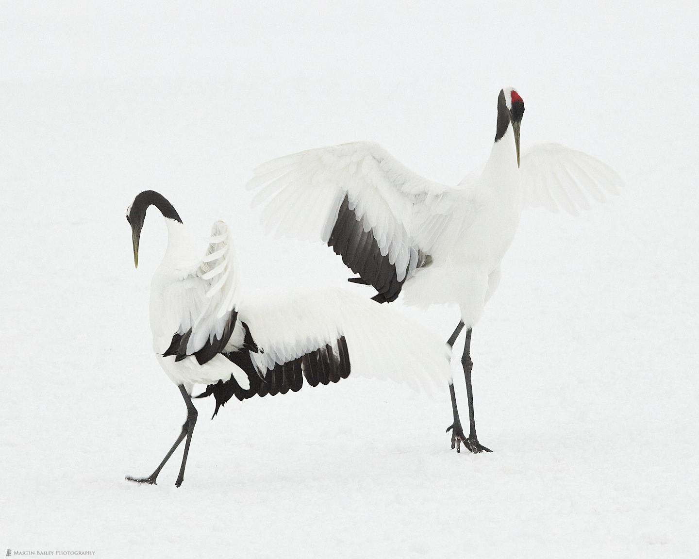 Dancing Cranes 2019 #3