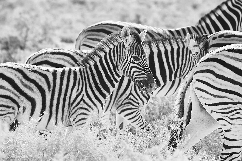 Infant Zebra