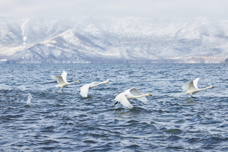 Swans on Kussharo Lake