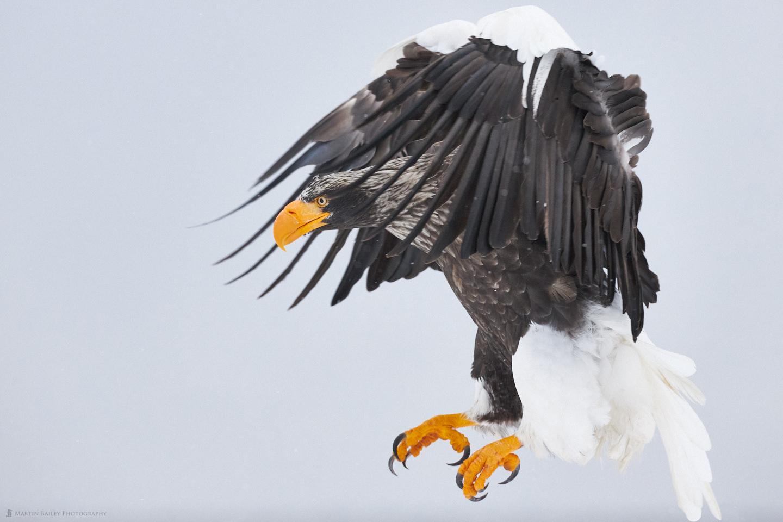 Menacing Steller's Sea Eagle