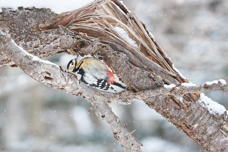Great Spotted Woodpecker Peekaboo