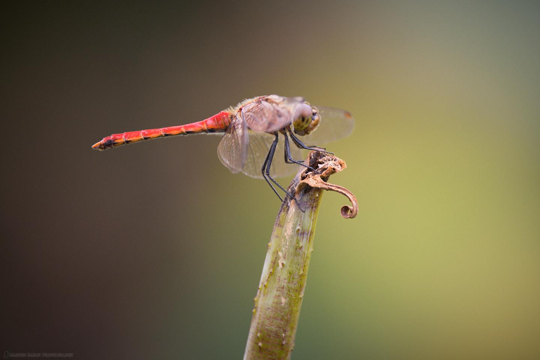 Akatombo (Red Dragonfly)