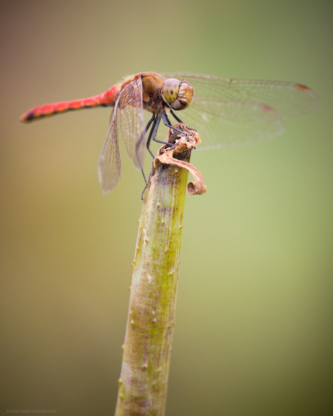 Speaking Red Dragonfly