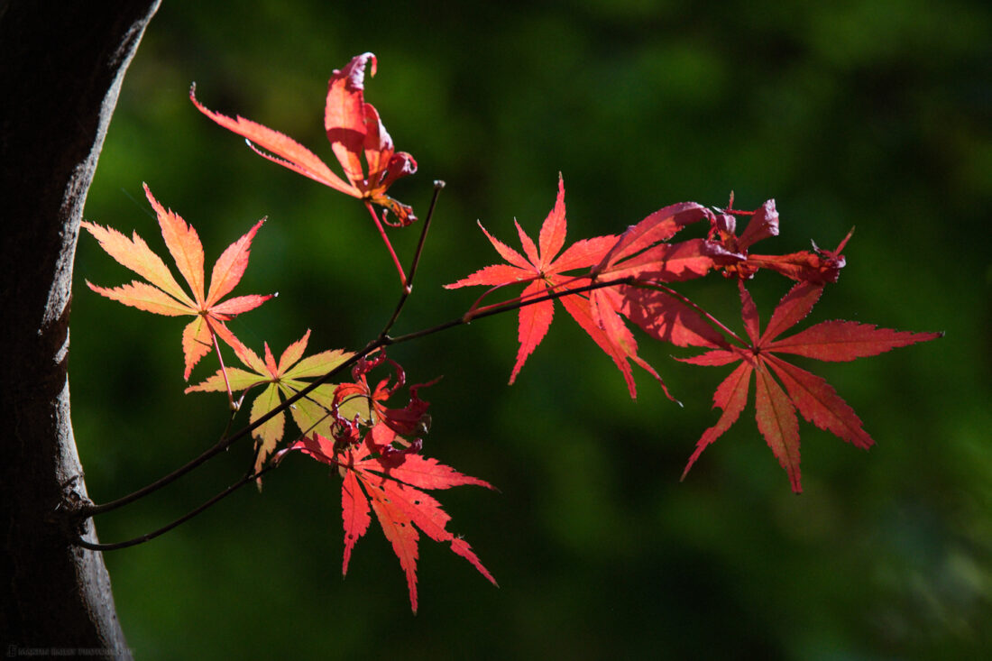 Lacy Maple