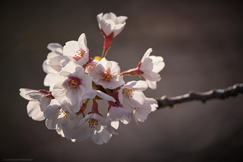 Backlit Sakura
