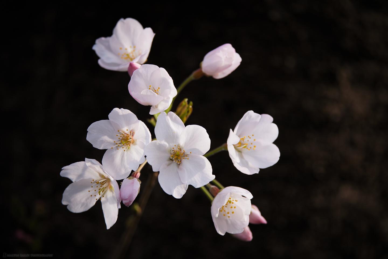 Sakura Starburst