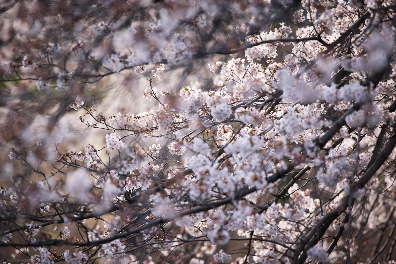 Sakurascape