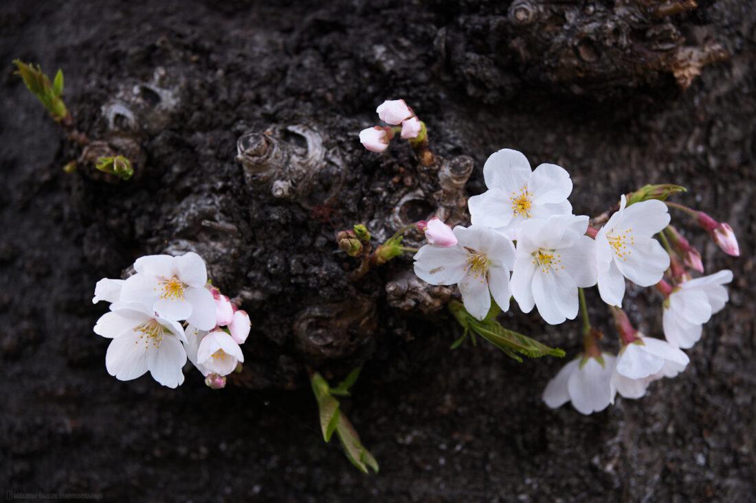 Sakura Community