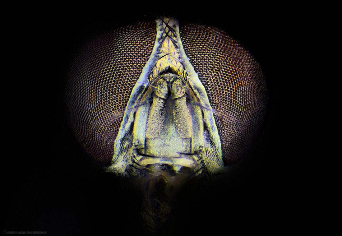 Common Housefly (50X Stereo Microscope)