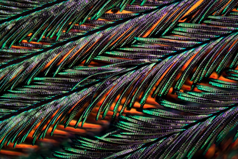 Peacock feather - Copyright © Håkan Kvarnström #6