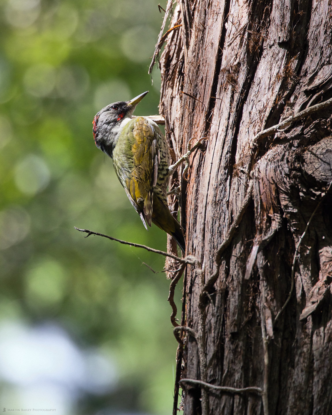 Japanese Green Woodpecker on Red Pine